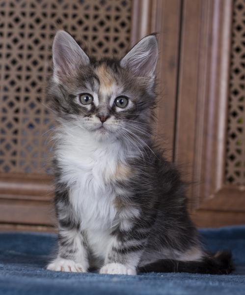 котенок мейн кун Brianna Estate Pearls. возраст 1,5 месяца, окрас fs 09 22