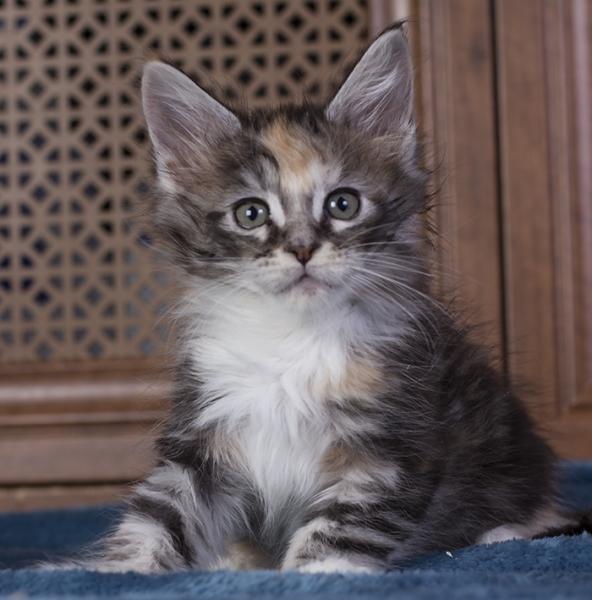 котенок мейн кун кун Brianna из питомника Estate Pearls. возраст 1,5 месяца