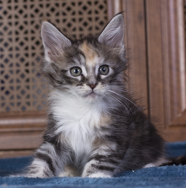 котенок мейн кун  Brianna Estate Pearls. возраст 1,5 месяца