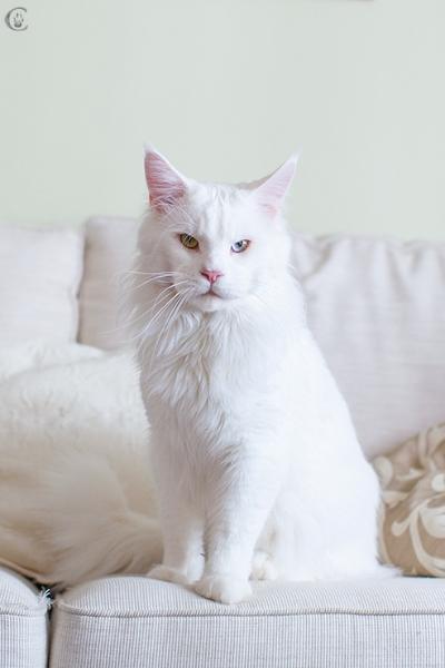 белый мейн кун, 2 года