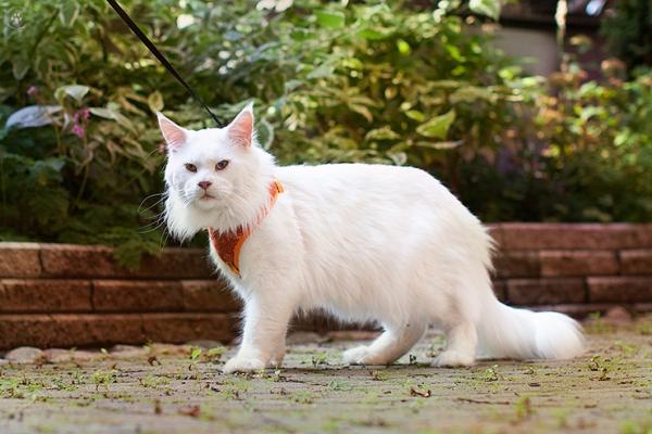 белый кот мейн кун Columbus, 2 года