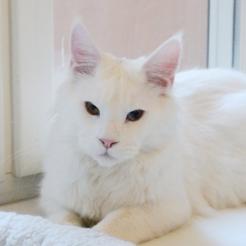белый кот мейн кун Columbus