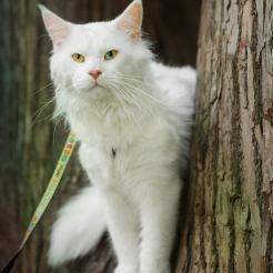 фото3 белый кот мейн кун Columbus, 3 года