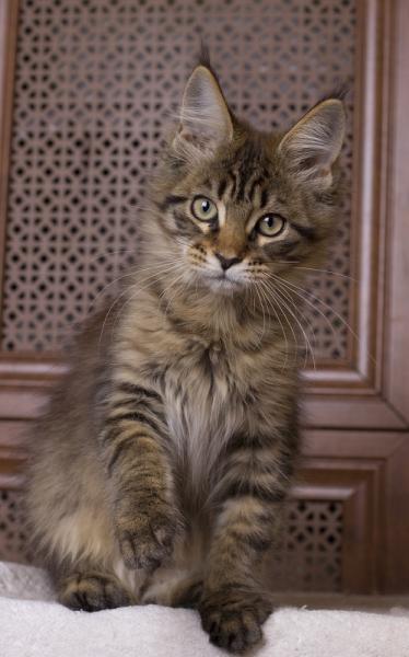 фото котенка мейн кун Edda из питомника Estate Pearls в возрасте 3 месяца, окрас черный тирговый