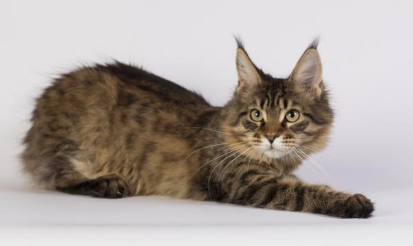 фото котенка мейн кун Edda из питомника Estate Pearls в возрасте 4 месяца, окрас черный тирговый