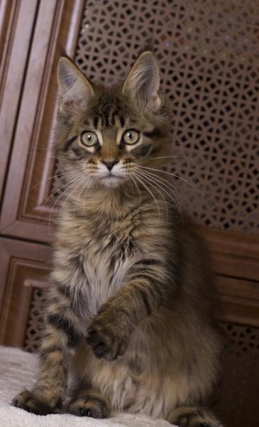 фото котенка мейн кун Edda из питомника Estate Pearls в возрасте 3 месяца