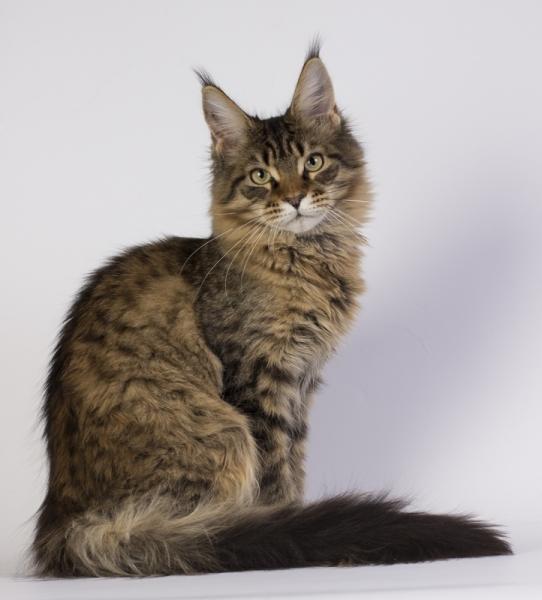 фото котенка мейн кун Edda из питомника Estate Pearls в возрасте 4 месяца