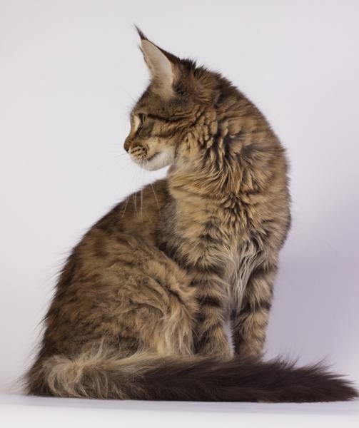 фото котенка мейн кун Edda а Estate Pearls в возрасте 4 месяца