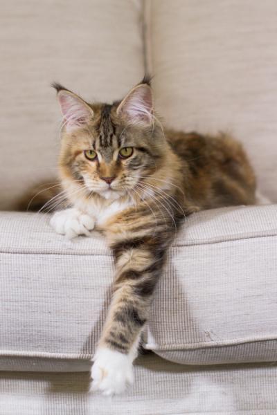 фото3  Elizabeth Freeclimber 6 месецов кошка мейн кун