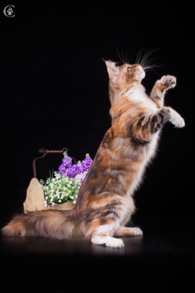 фото3 Elizabeth Freeclimber 9 месецов кошка мейн кун