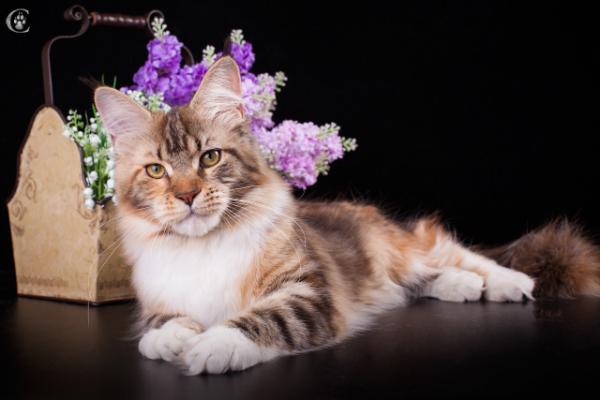 фото4 Elizabeth Freeclimber 9 месецов кошка мейн кун