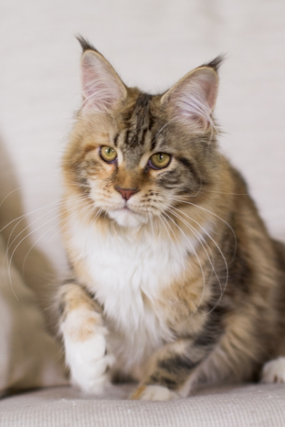 фото2  Elizabeth Freeclimber 6 месецов кошка мейн кун
