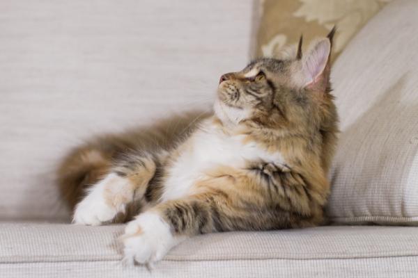 фото1 Elizabeth Freeclimber 6 месецов кошка мейн кун