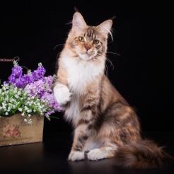 фото1 Elizabeth Freeclimber 9 месецов кошка мейн кун