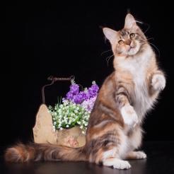 фото2 Elizabeth Freeclimber 9 месецов кошка мейн кун