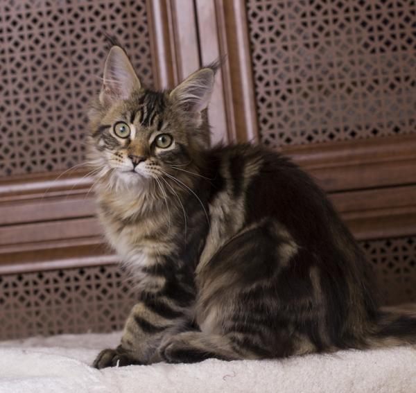 котенок мейн кун Evita из питомника Estate Pearls фото в возрасте 3 месяца, окрас n 22