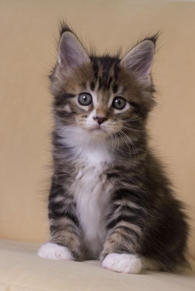 котенок мейн кун Fergus из питомника Estate Pearls. фото в возрасте 1,5 месяца