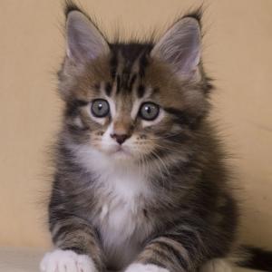 котенок мейн кун Fergus из питомника Estate Pearls. окрас n 09 22