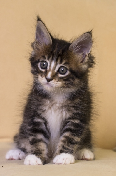 котенок мейн кун Firenze из питомника Estate Pearls. окрас черный мраморный с белым