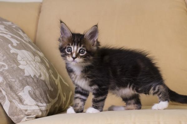 котенок мейн кун Firenze из питомника Estate Pearls. окрас черный мраморный с белым, фото в возрасте 1,5 месяца