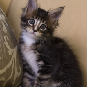 котенок мейн кун Firenze Estate Pearls. окрас черный мраморный с белым, фото в возрасте 1,5 месяца
