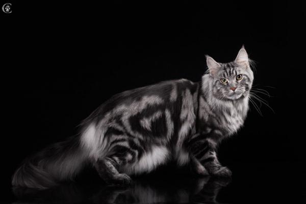 Окрас черный серебристый мраморный (ns 22), 2,5 года кот мейн кун Fireworks Estate PearlS