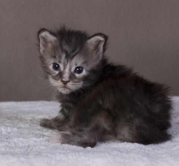 котенок мейн кун Greza Estate Pearls. возраст 2 недели