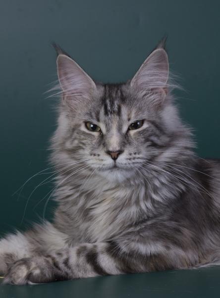 котенок мейн кун Greza из питомника Estate Pearls фото в 6 месяцев, окрас серебряная черепаха