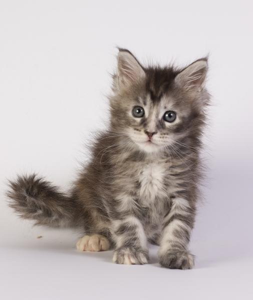 котенок мейн кун Greza из питомника Estate Pearls фото в возрасте 5 недели, окрас серебряная черепаха