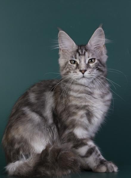 котенок мейн кун Greza из питомника Estate Pearls фото в 5 недель, окрас серебряная черепаха