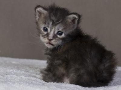котенок мейн кун Greza из питомника Estate Pearls. возраст 2 недели