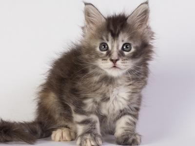 котенок мейн кун Greza из питомника Estate Pearls фото в возрасте 5 недели