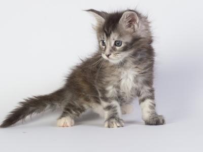 котенок мейн кун Greza Estate Pearls фото в возрасте 5 недель, окрас fs22