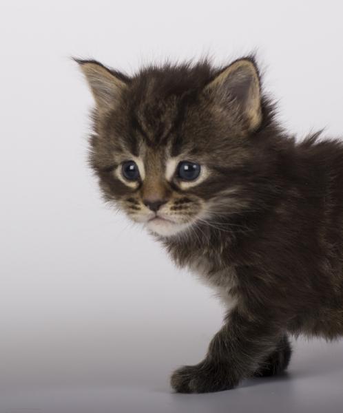 котенок мейн кун Halldor Estate Pearls*RU фото в 3 недели, окрас 22