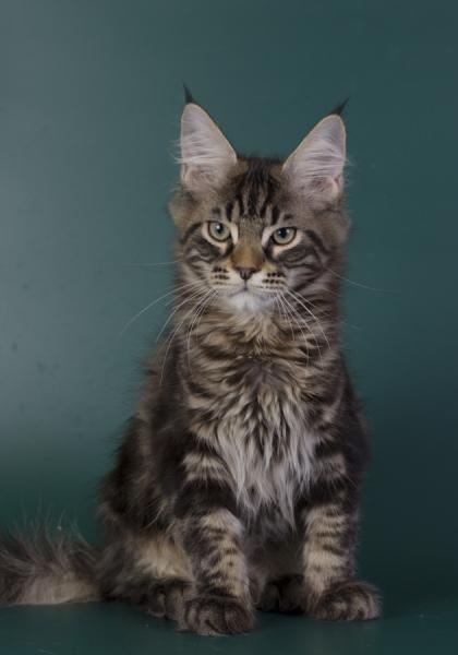 котенок мейн кун Halldor из питомника Estate Pearls*RU фото в 5 месяцев, окрас черный мраморный