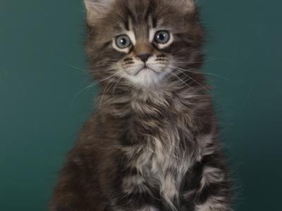 котенок мейн кун Halldor из питомника Estate Pearls*RU фото в 8 недель, окрас черный мраморный
