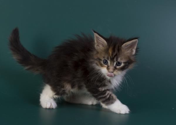 котенок мейн кун Inari из питомника Estate Pearls*RU. фото2 в возрасте 4 недели, окрас f 09 22
