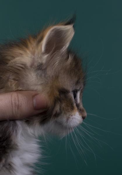 котенок мейн кун Inari Estate Pearls*RU. фото в возрасте 4 недели