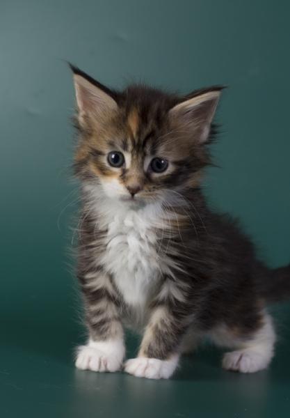 котенок мейн кун Inari из питомника Estate Pearls*RU. фото4 в возрасте 4 недели, окрас f 09 22