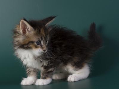 котенок мейн кун Inari из питомника Estate Pearls*RU. фото в возрасте 4 недели