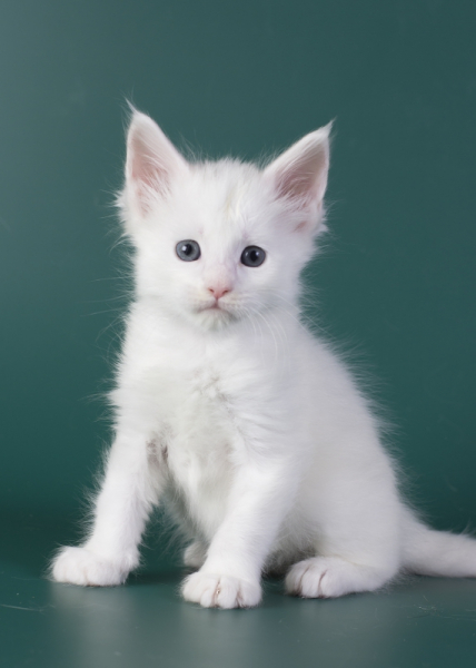 белый котенок мейн кун Iney из питомника Estate Pearls*RU фото в возрасте 4 недели, мальчик