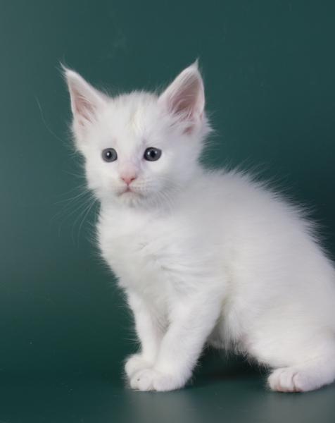 белый котенок мейн кун Iney из питомника Estate Pearls*RU фото в возрасте 4 недели,