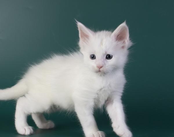 белый котенок мейн кун Iney из питомника Estate Pearls*RU фото в возрасте 4 недели, крупный мальчик