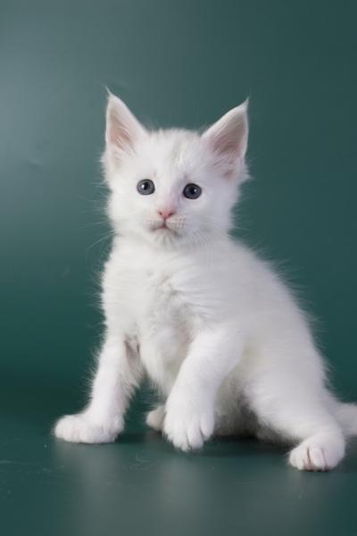 котенок мейн кун Iney из питомника Estate Pearls*RU фото в возрасте 4 недели, окрас белый