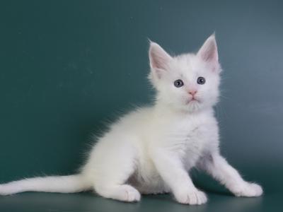 белый котенок мейн кун Iney из питомника Estate Pearls*RU фото в возрасте 4 недели