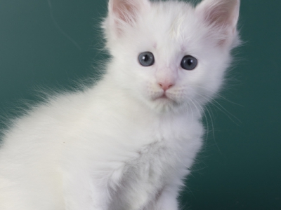 белый котенок мейн кун Iney Estate Pearls*RU фото в возрасте 4 недели