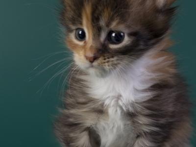 котенок мейн кун Idée fixe из питомника Estate Pearls*RU. фото в 4 недели