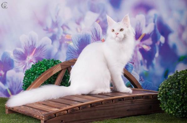 кошка мейн кун J'Adore Estate PearlS*RU, 1 год, окрас белый