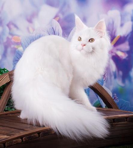кошка мейн кун J'Adore Estate PearlS*RU, окрас w (белый)