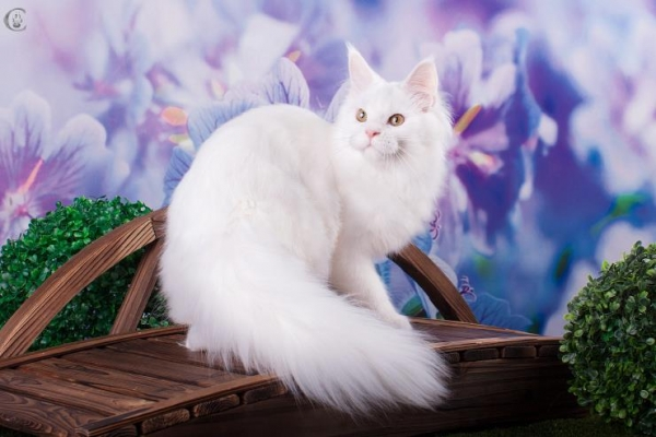 белая кошка мейн кун  J'Adore Estate PearlS*RU, 1 год